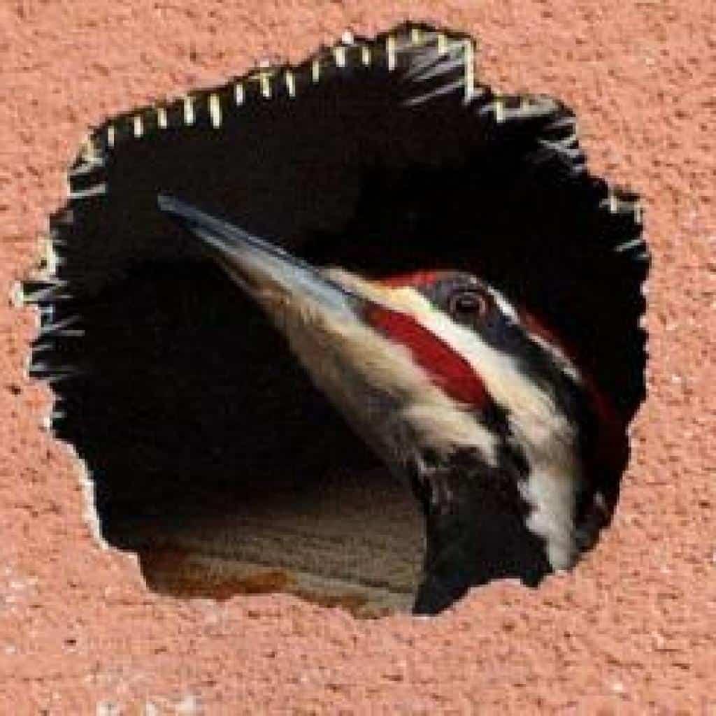 woodpecker bird damage, holes on stucco