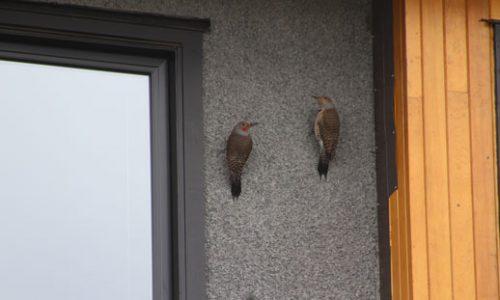 stucco bird damage edmonton